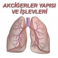 Akciğerler Yapı Ve Işlevleri Akciğerler Göğüs Boşluğunda Büyük